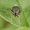 Halticus bractatus - Microtechnites bractatus - female