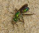 Pretty green bees at Marietta Sand Prairie - Agapostemon splendens - female