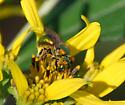 Sweat Bee on Goldenrod - Augochlora pura