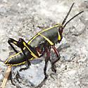 blue & yellow grasshopper - Romalea microptera - female