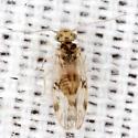 False Lizard Barklouse - Pseudocaecilius citricola