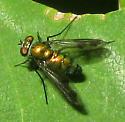 Long-legged Fly - Condylostylus patibulatus
