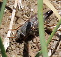 Gray fly with brown legs on moist ground - Apiocera