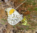 Stella Orangetip? - Anthocharis sara - female