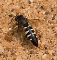 Burrowing Wasp - Bicyrtes quadrifasciatus - female