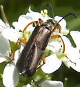 Bronzed Blister Beetle - Lytta aenea