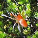 Spider - Ceraticelus
