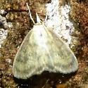 Moth unidentified - Crocidophora tuberculalis