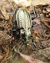 Beetle - Carabus granulatus - male