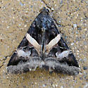 Moth ID? - Melipotis indomita