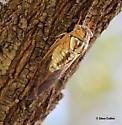 Tibicen dealbatus - Megatibicen dealbatus