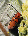 unknown beetle - Tetraopes tetrophthalmus