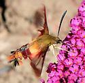 Moths Hemaris thysbe - Hummingbird Clearwing - Hodges#7853 - Hemaris thysbe