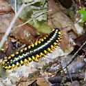 Millipede - Apheloria sp??? - Apheloria montana
