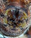 Mama w/Egg case - Araneus diadematus - female