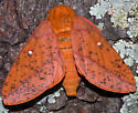 moth - Anisota stigma - female