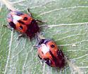 Unknown Beetles - Diaperis maculata