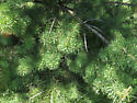 Conifer Sawfly larvae (Diprionidae)