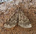 Unidentified Moth - Idia lubricalis