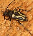 longhorn - Judolia instabilis