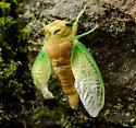 Recently emerged Cicada - Neotibicen tibicen