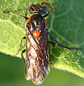Sawfly - Arge humeralis - male