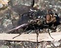 Yellow-chinned fly - Calliphora vomitoria