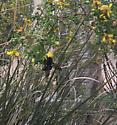 Black large bee Albuquerque NM Tiguex Park May 7, 2018 - Xylocopa varipuncta