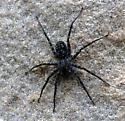 Grey Wolf Spider - Pardosa
