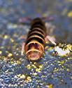 Entomobryomorpha - Desoria hoodensis