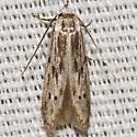 Scavenger Moth - Hypatopa