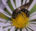Lasioglossum fuscipenne - male