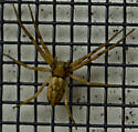 Spider - Philodromus