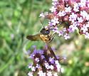 Strange looking carpenter bee? - Megachile sculpturalis