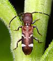 Beetle ID - Psenocerus supernotatus