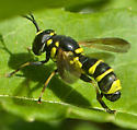 Stunning Syrphid - Ceriana tridens - male