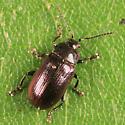 leaf beetle - Phratora purpurea