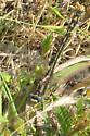 Pacific spiketail? - Phanogomphus kurilis