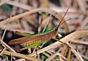 Slantfaced Grasshopper species - Metaleptea brevicornis - male