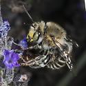 Another Spring Anthophora? - Anthophora californica