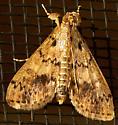 What type of moth? - Asciodes gordialis