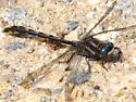 Dragonfly - Phanogomphus exilis