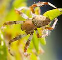 Male Neoscona in fern? - Araneus marmoreus - male