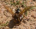 Cicada killer - Sphecius