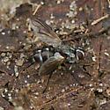 Dipteran