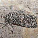 Unknown Moth - Egira dolosa