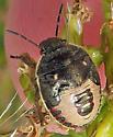 Margined Stink Bug - Holcostethus limbolarius