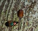 Red-headed ground beetle - Chlaenius emarginatus