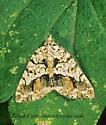69728 mACARIA - Macaria graphidaria - female