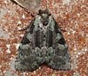 Noctuidae,  Marbled-green Leuconycta - Leuconycta lepidula